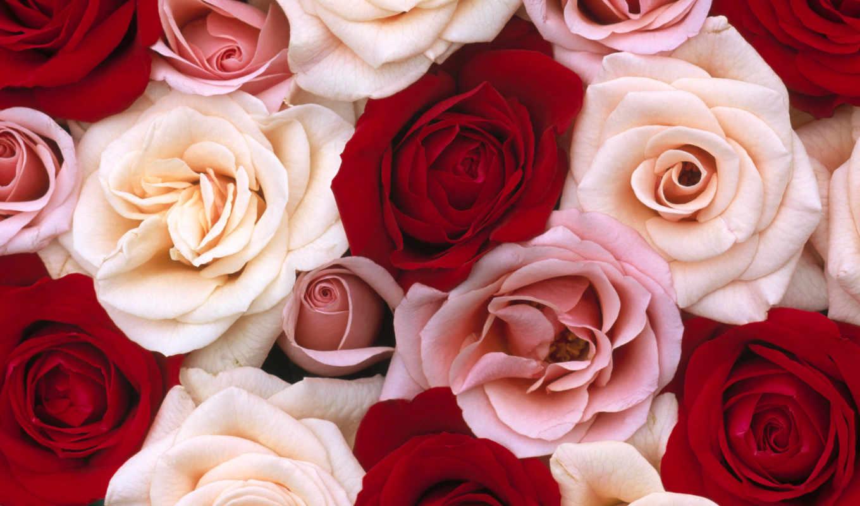 розовый, white, роза, roses, flowers, red, цветы,