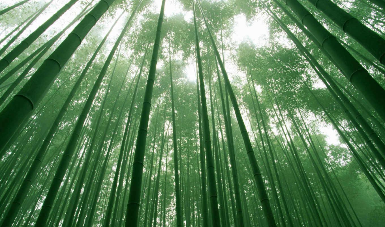 лес, бамбук, зелёный, небо, листва, деревья, дерево,