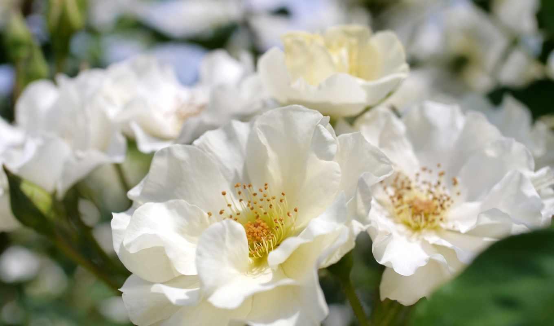 розы, cvety,