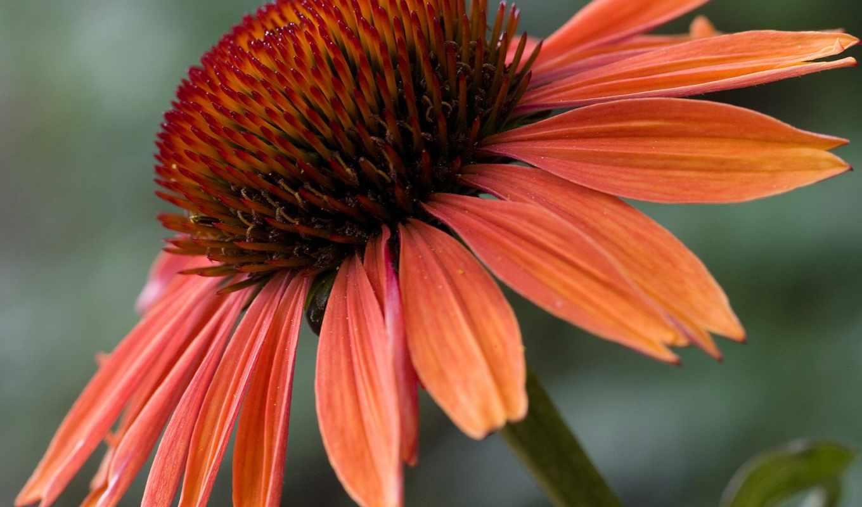 эхинацея, flowers, цветы, genus, sundown, семья, plants, are,