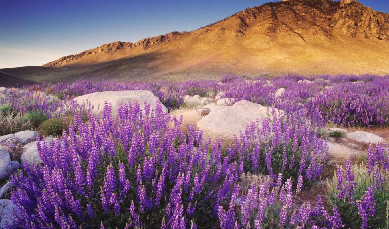 цветы, гора, природа, purple, люпин, пустыня, one, love