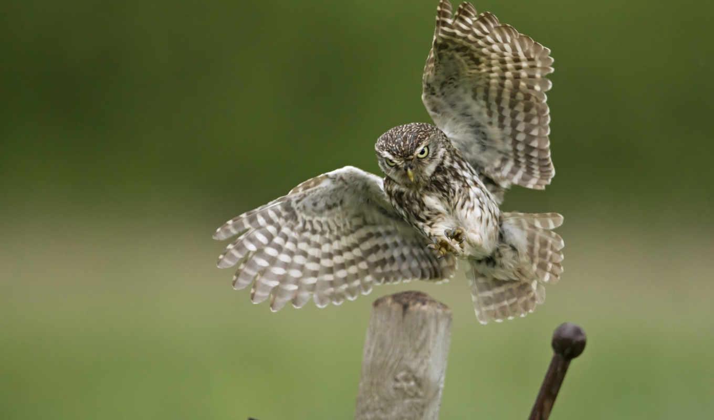 owl, животные,
