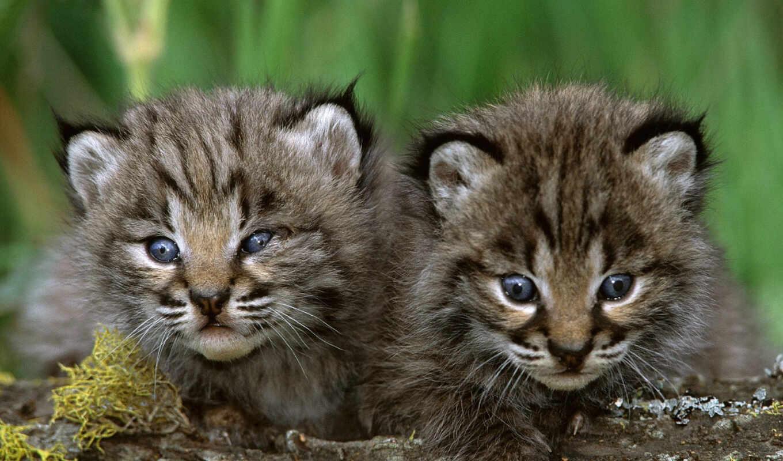 животные, кошки, детеныши, большие, животных, тигры,