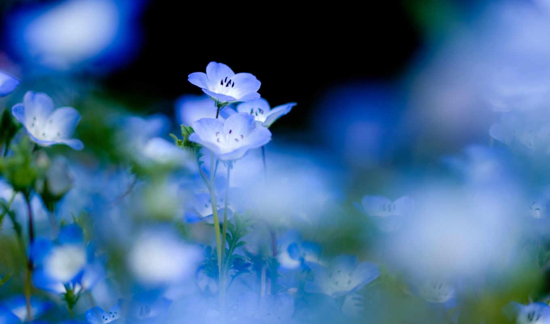 цветы, природа, голубые, синие, растительность, дек,