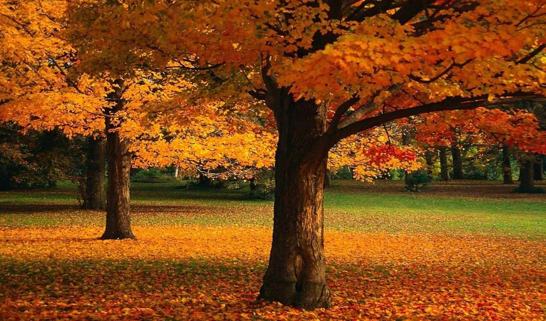 осень, листья, деревья, природа, флот, maple, красные,