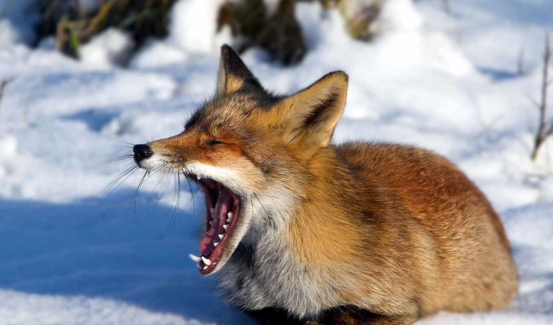 фокс, зевает, лисы, тварь, лис, добавить, лес, winter,