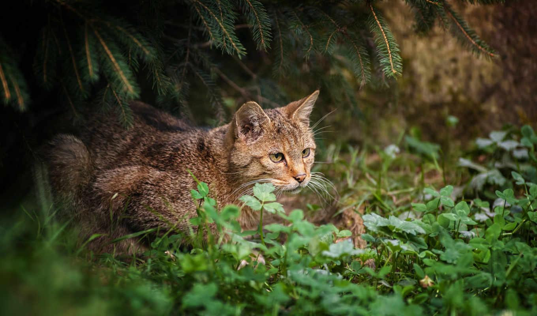 трава, кот, лес, дикая, красивый, лесу, природа,