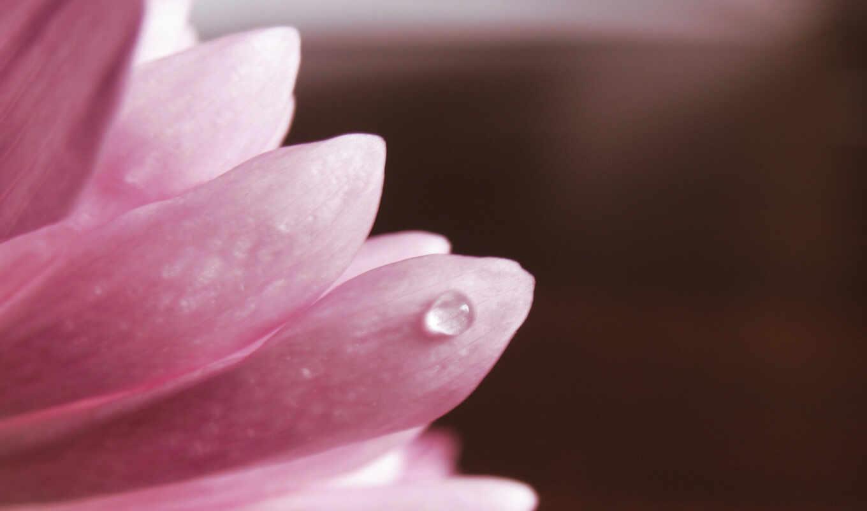 макро, hd, лепестки, розовый, цветы, цветок, خلفيات, капля, flowers, wallpapers, растения, wallpaper, ورد, full, природа, обоев, lonely, широкоформатные, pack, flower, petals, pink,