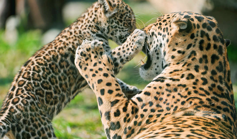 jaguar, детёныш, мама, матерью, see, zhivotnye, об, ягуара,