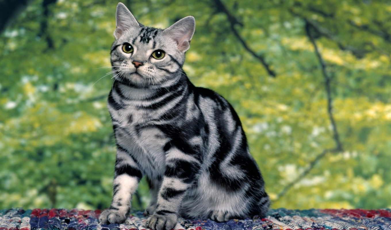 американская, кот, короткошёрстная, породы, пород, кошек, цена, кошки,