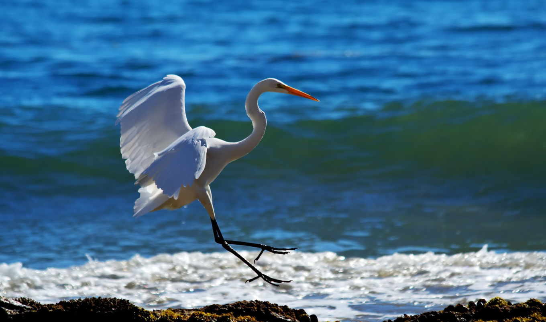 birds, zhivotnye, fly, ocean, animals, птица, берег, море, птицы, beaches, herons,