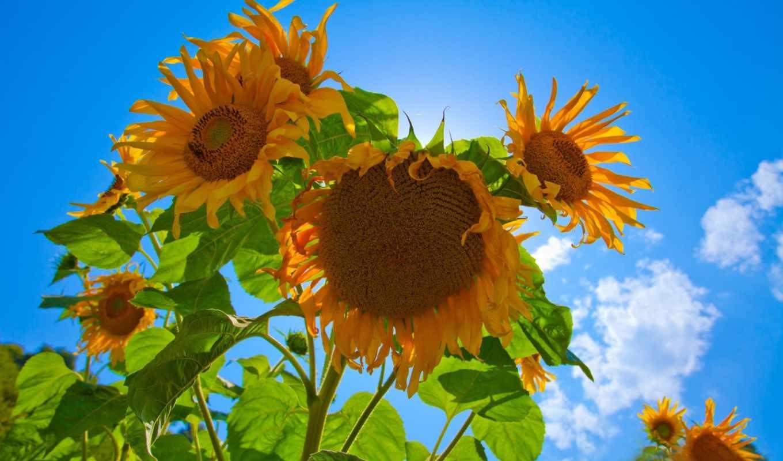 sunflowers, best, pack,