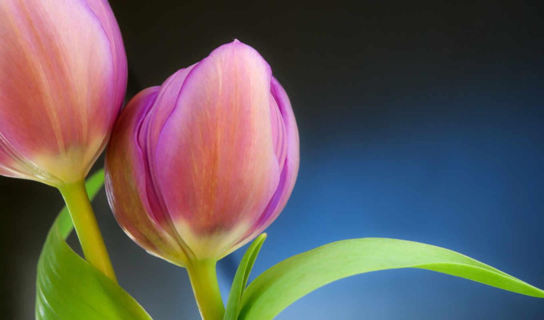 розовые, тюльпаны, бутоны, макро,