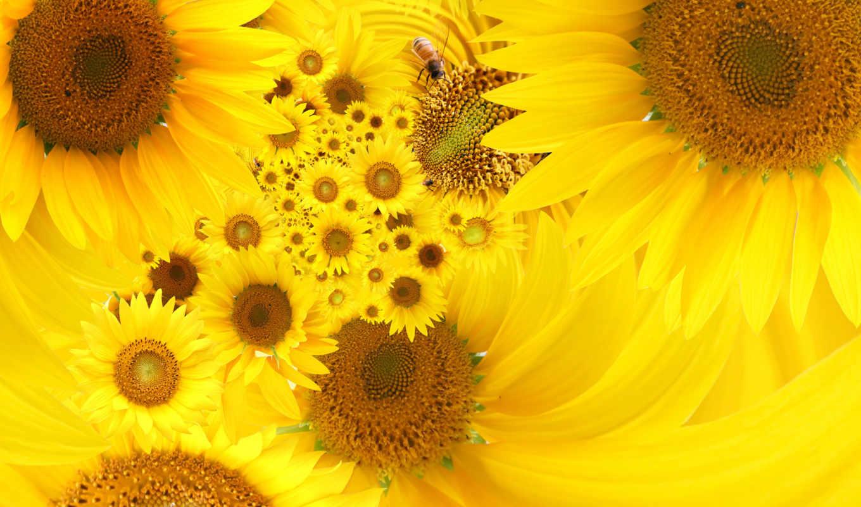 sunflowers, free, подсолнух, yellow, images, цветы, изображение,