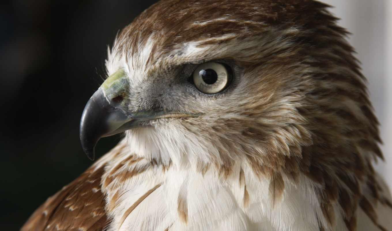 птица, falcon, birds, хищник, перепелятник, duvar, free,