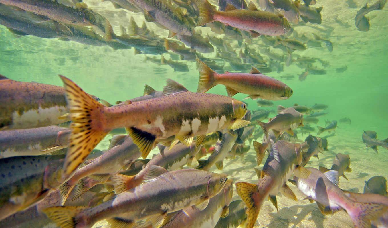 salmon, река, нерка, розовый, underwater, swimming, swim,