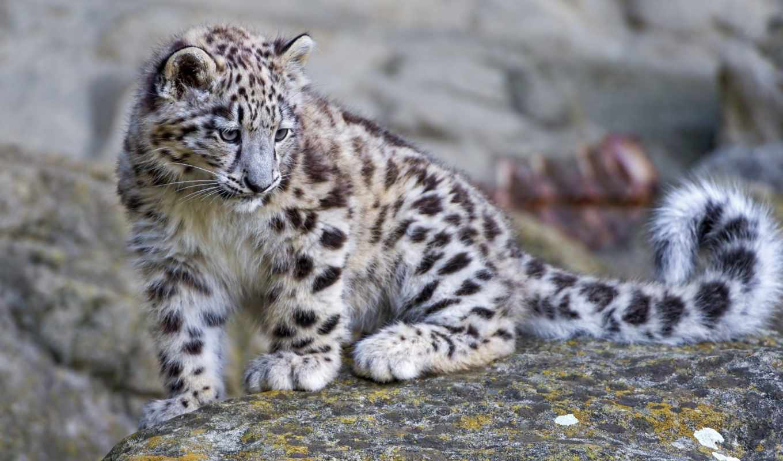 леопард, снег, ирбис, детёныш, камень, яndex,