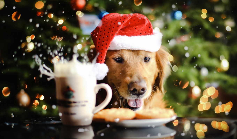 за, фото, собаки, новогодние, зооклубе, соба,