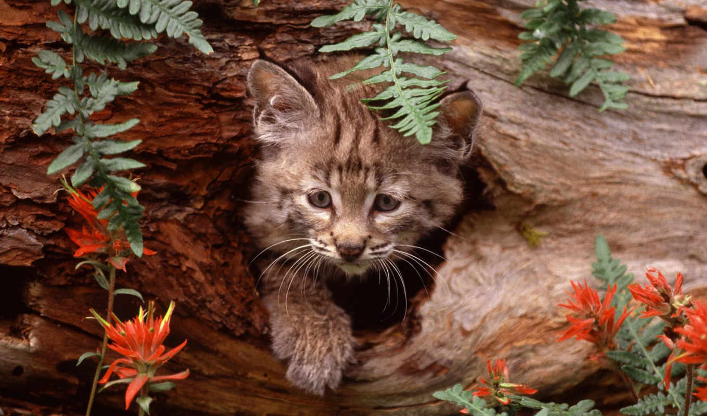 elena, desktop, chat, animals, animal, cats, lynx, hollow, semenova, definition, kitten, bobcat, high,