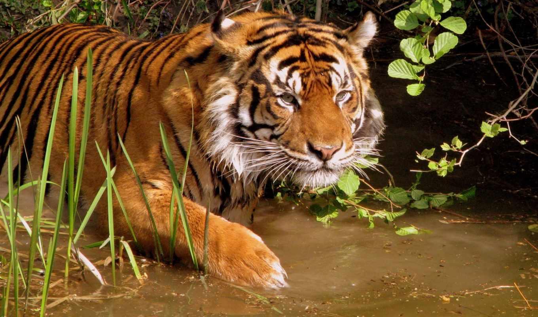,природа, тигр, река, охота,