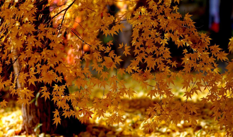 листья, природа, осень, деревья, свет, yellow, tree, картинка, resolution, картинку,