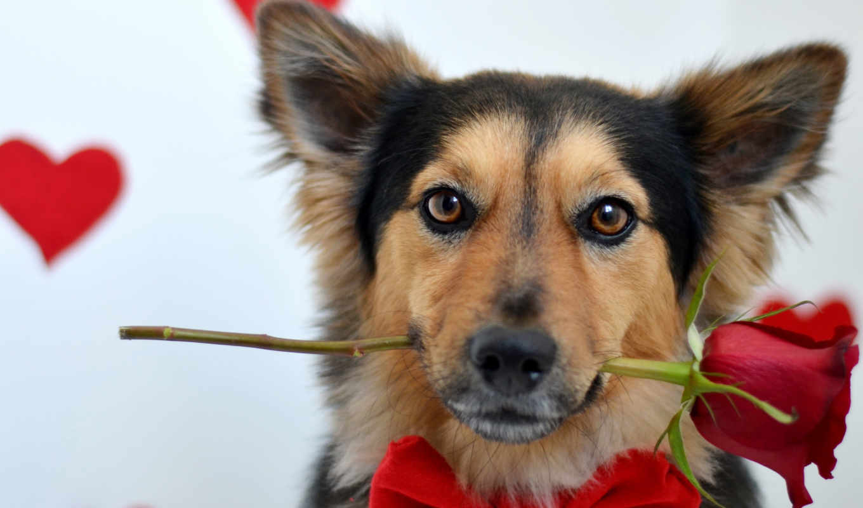 собака, роза, красной, взгляд, цветы,