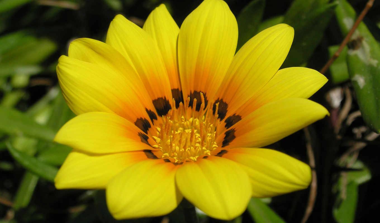 цветы, yellow,