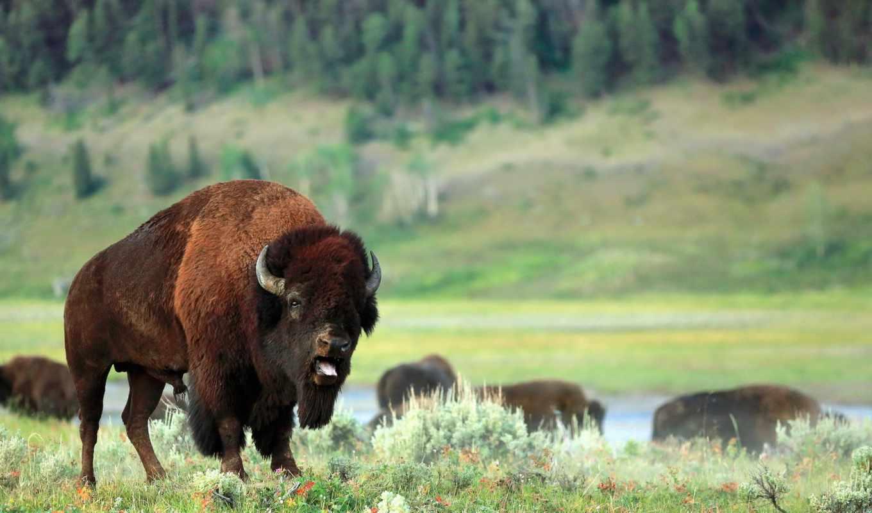 бизон, фото, photograph, зубры, буйвол, классы,