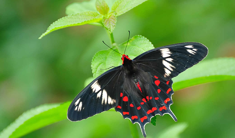 full, бабочка, priroda, oboi, бесплатные, alas, mariposa, mariposas, makro, rotas,