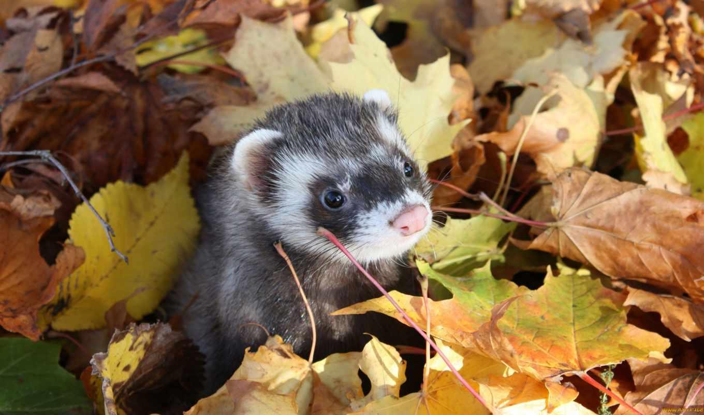 осень, листьях, хорек, морда, park, листва, главная, каталог, фретка,