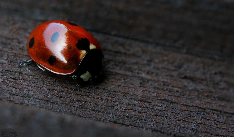 board, wood, desktops, dots, similar, ladybug,