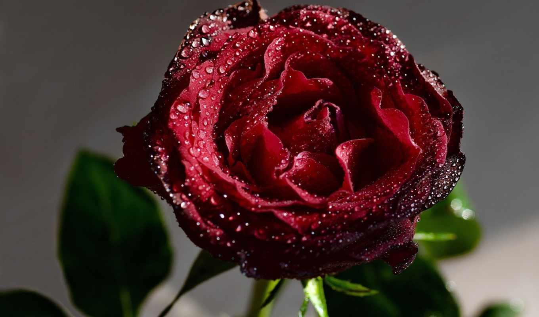 цветы, капли, роза, красная, воды, water, макро,