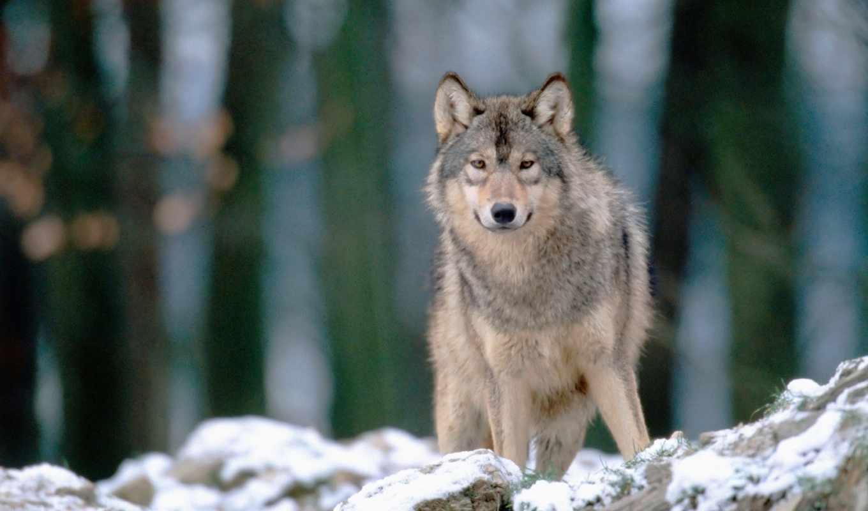 волк, волки, волк, kolohostru, беларуси, winter,