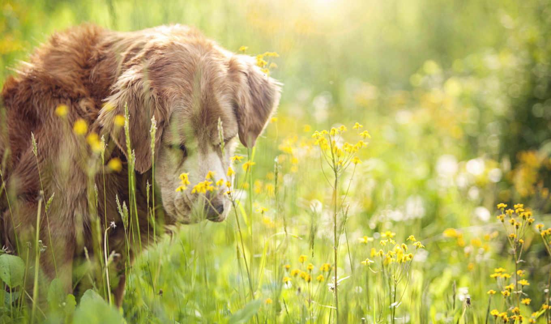 leto, поле, теме, собаки,