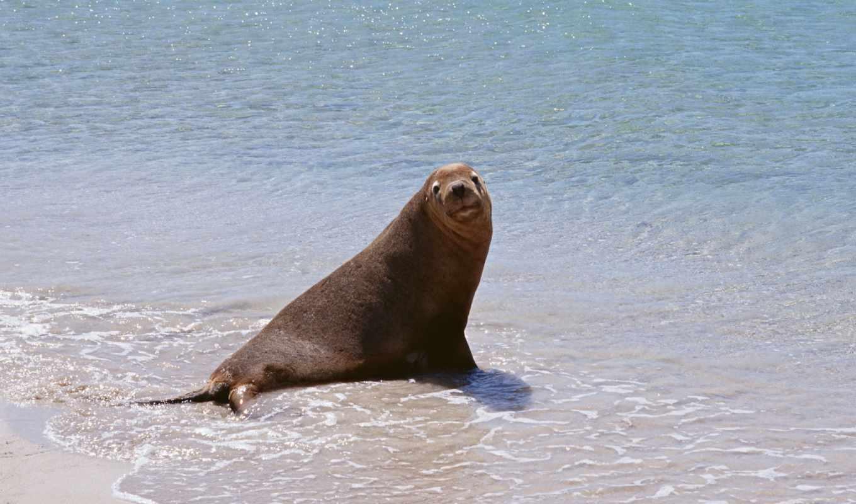 тюлень, море, морские, код, руб, млекопитающие, кот,