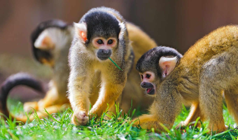 обезьяны, zhivotnye,
