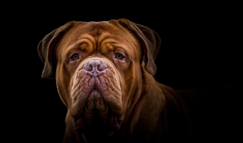 собака, burdeo, pantalla, лист, осень, animal, морда, взгляд