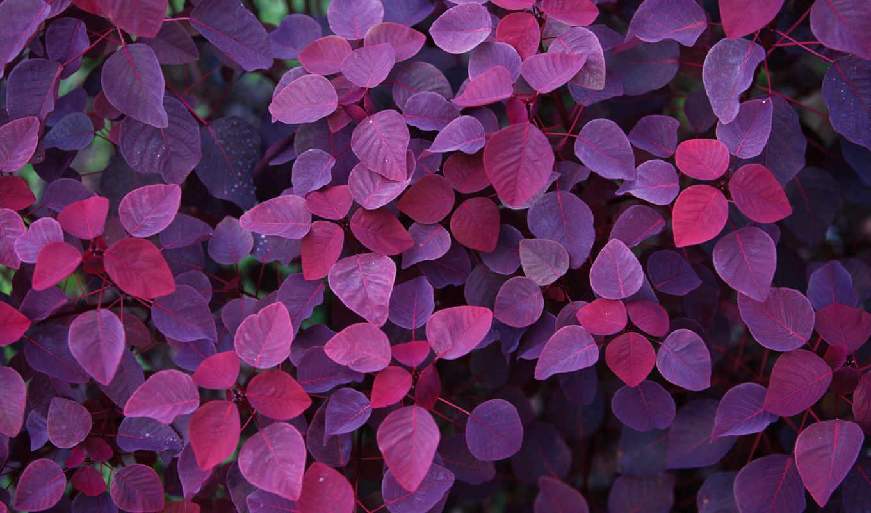 листья, фиолетовый, осень, взгляд, красивые,