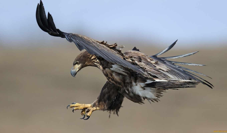 berkut, оленя, hunting, пятнистого, поймал, орлан, птицы, орлов, хищник, яndex,