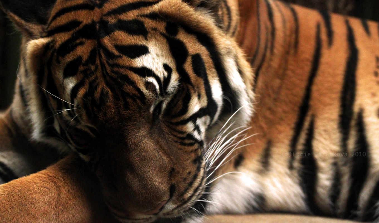 обои, тигр, tiger, кошки, тигры, полосы, заставки,