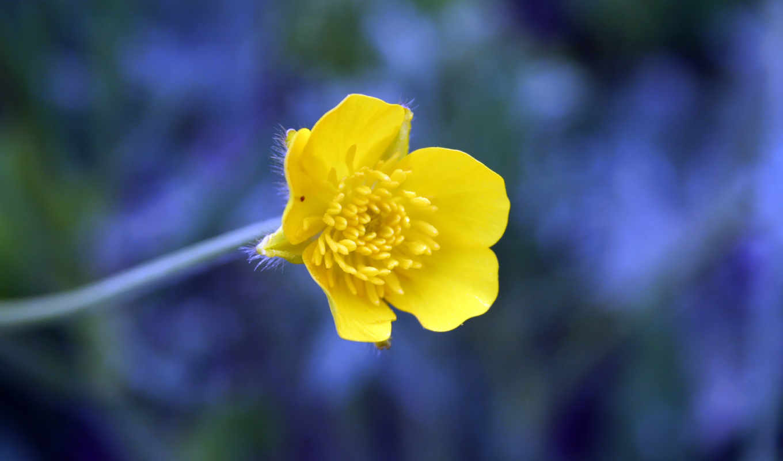 желтый, синий, цветок,