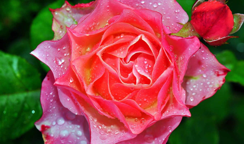 roza, rosa, бутон, капли, makro, просмотреть, листья,