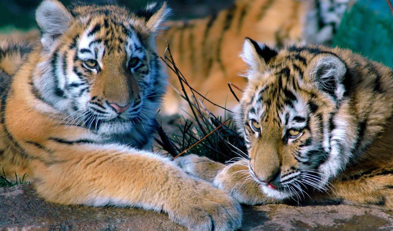 тигр, котята, хищник, картинку, тигры, картинка, тигрята, кнопкой, мыши, семья, тигренок, животные, правой,