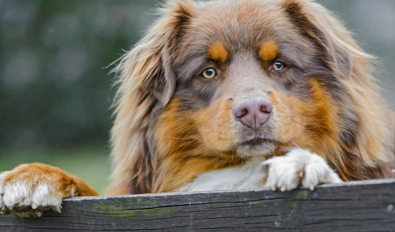 австралийская, овчарка, собак, колли, border, собаки, овчарки, породы, пород,