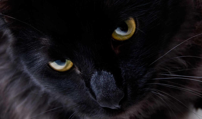 взгляд, кошки, кот, глаза, black, черной,