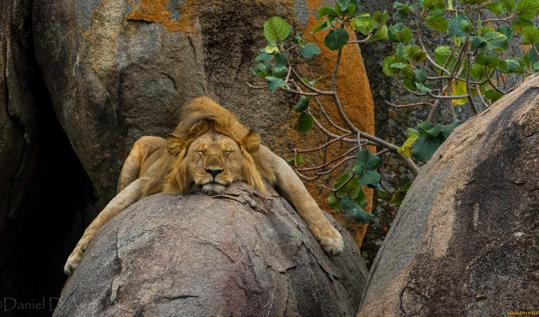 lion, камень, природа, камне, лежит, спит, дикая, сладко, яndex, камня,
