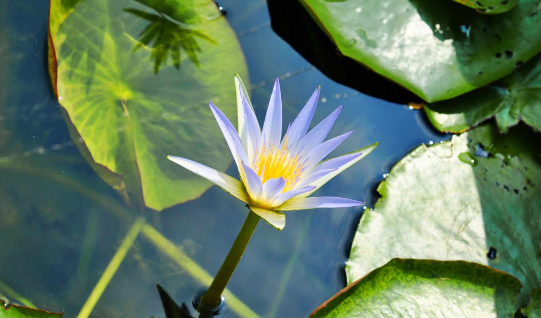 cvety, красивых, девушек, подборка, makro, листья, кувшинка, зелень,
