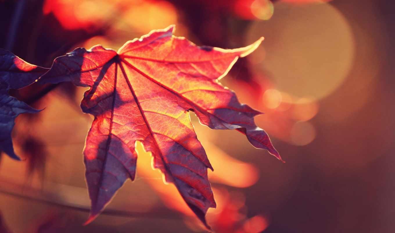 осень, free, природа, листья, widescreen, дождь, maple,