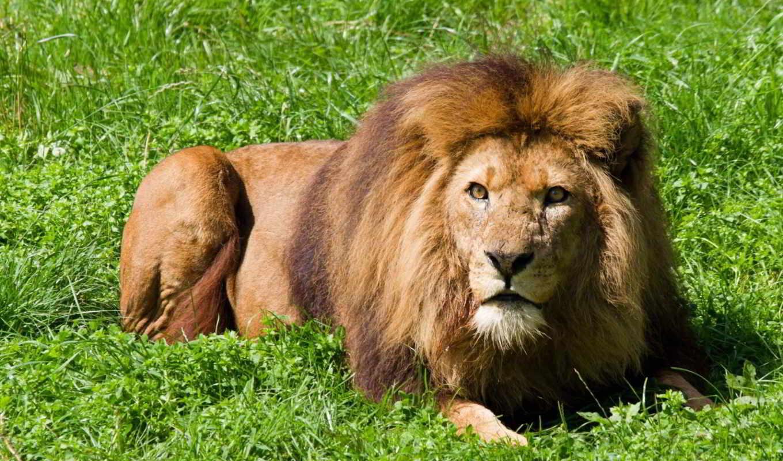 animal, лев, трава, lion, wild, мужской,
