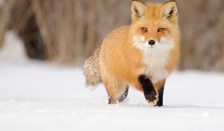 diamond, снег, рыжая, красивая, фокс, снегу, лисы, разных, zhivotnye, идёт,